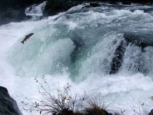 Wild and endangered Coho salmon, North Umpqua River, Deadline Falls by Francis Eatherington